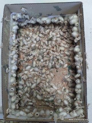 Silkworms at Rostrata Primary