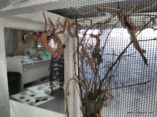 Spiny stick insects in science lab