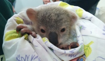 Orphaned joey.jpg