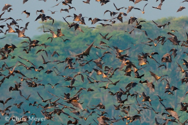 chris-meyer-kasanka-bats-2.jpg